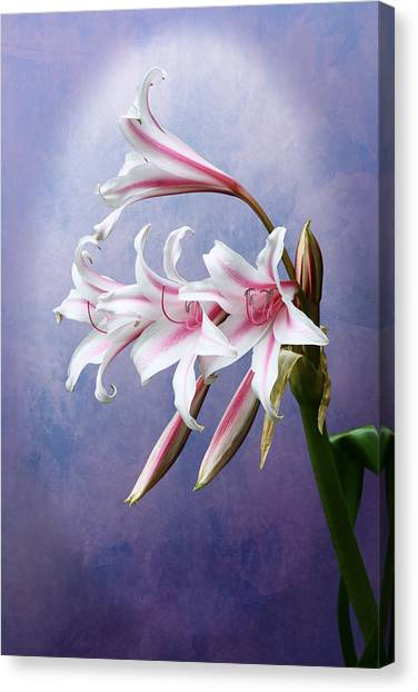 Pink Striped White Lily Flowers Canvas Print