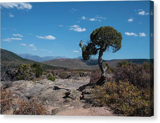 Pinyon Pine With North Rim In Background Black Canyon Of The Gunnison Canvas Print