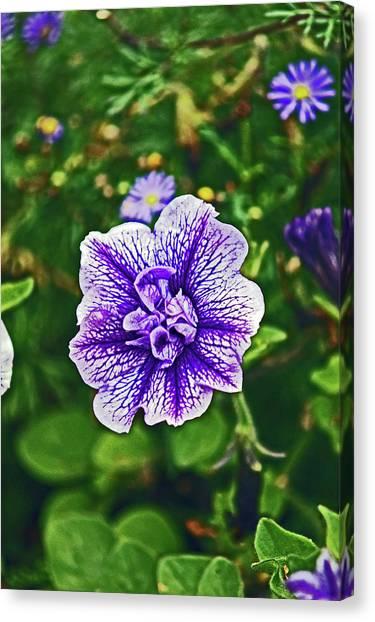 Pitlochry.  Purple Petunia. Canvas Print