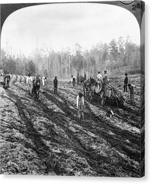 Planting Sugar Cane In Georgia Canvas Print by Hulton Archive