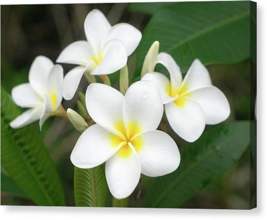 Canvas Print featuring the photograph Pleasing Plumeria by Denise Bird