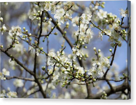 Plum Blossoms - 19 4915 Canvas Print