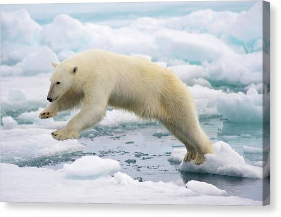 Polar Bear Jumping In The Fast Ice Canvas Print by Arturo De Frias Photography