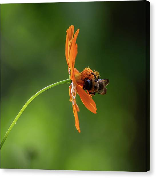 Canvas Print featuring the photograph Pollinating The Cosmos by Dale Kincaid