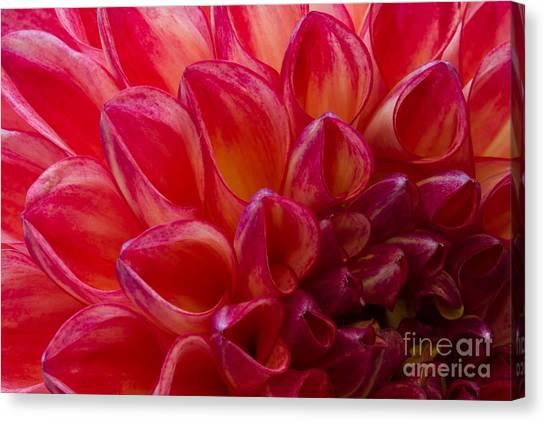 Dahlias Canvas Print - Pomegranate Dahlia by Charles Lakamp