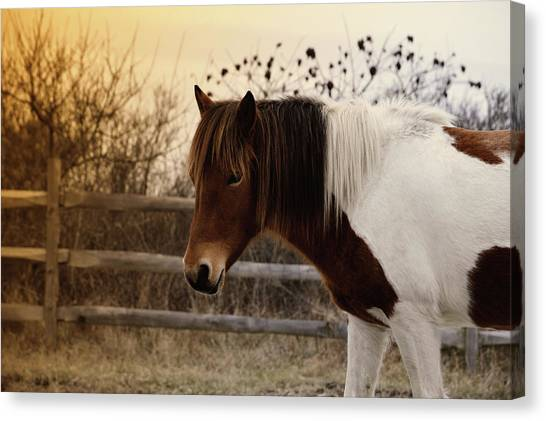 Pony Warm Up Canvas Print