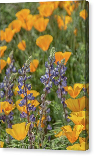 Poppies And Mountain Lupine 5585-030519 Canvas Print
