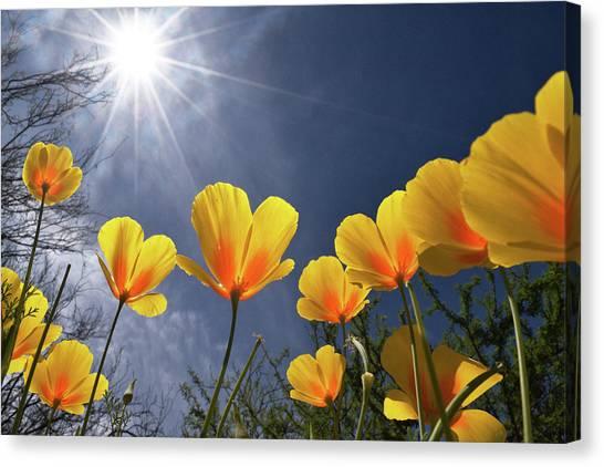 Poppies Enjoy The Sun Canvas Print