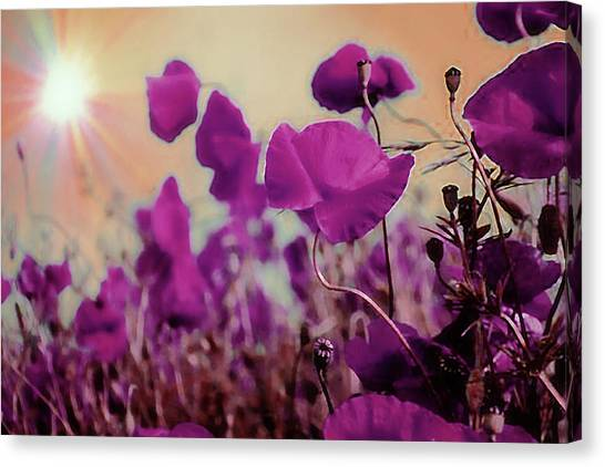 Poppies In Sunlight Canvas Print