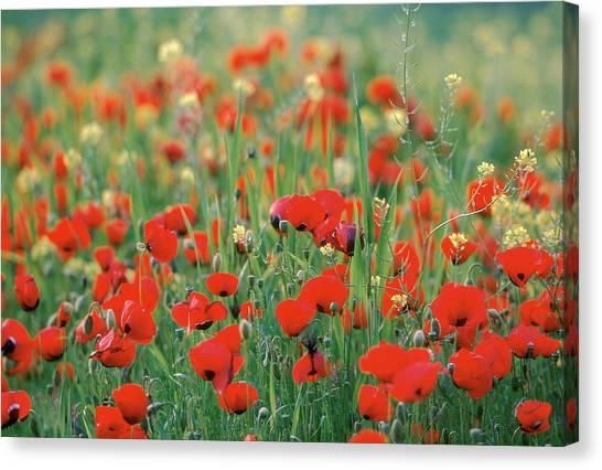 Poppy Field In Corinth, Greece - Canvas Print