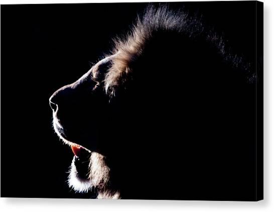 Portrait Of A Backlit Male African Lion Canvas Print