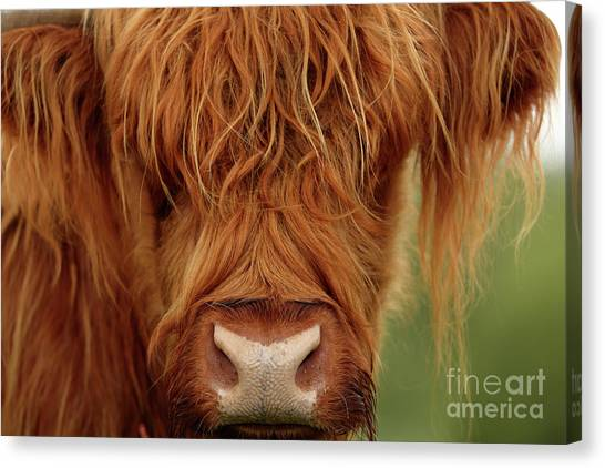 Portrait Of A Highland Cow Canvas Print