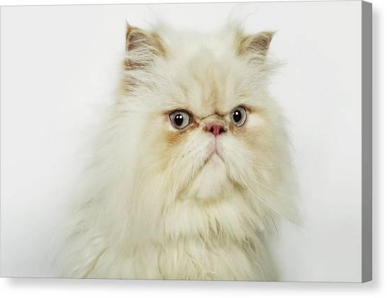 Portrait Of A Persian Cat Canvas Print by Flashpop