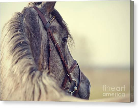 Portrait Of A Sports Stallion In A Canvas Print by Elya Vatel