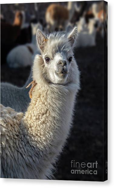 Andes Mountains Canvas Print - Portrait Of An Alpaca  by Delphimages Photo Creations