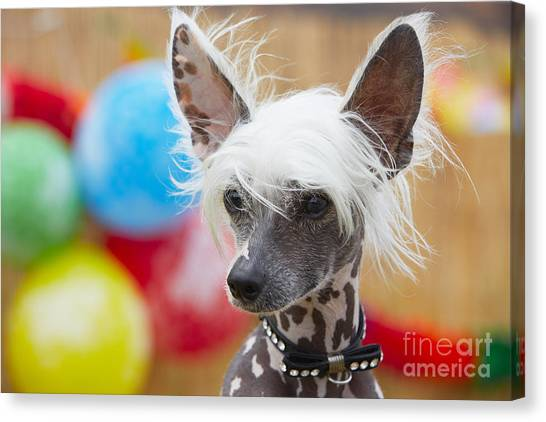 Happiness Canvas Print - Portrait Of Chinese Crested Dog - Copy by Jaromir Chalabala