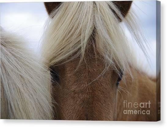 Livestock Canvas Print - Portrait Of Icelandic Horses With Long by Igor Dymov