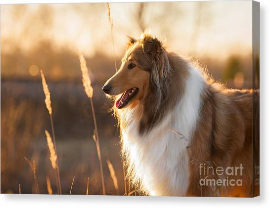 Purebred Canvas Print - Portrait Of Rough Collie At Sunset by Grigorita Ko