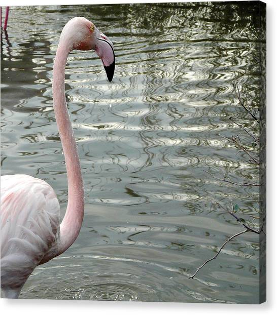 Profile Of Phoenicopterus Flamingo Canvas Print