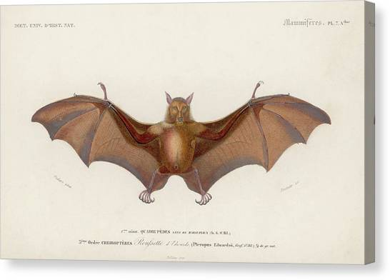 Pteropus Edwardsii Canvas Print by Hulton Archive