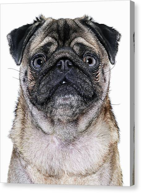 Pug Dog, Close-up Canvas Print