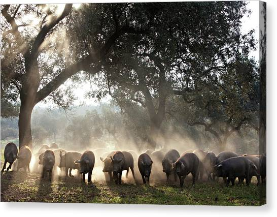 Pure Iberian Pigs Feed On Grasslands At Canvas Print