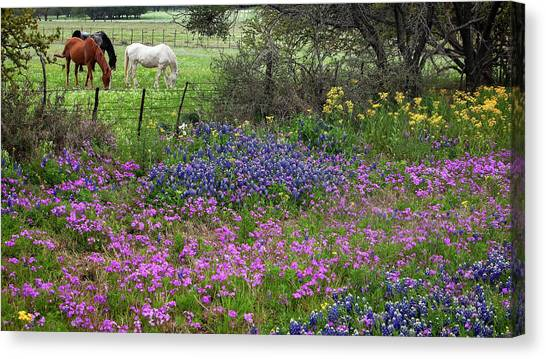 Bluebonnets And Pure Texas  Canvas Print