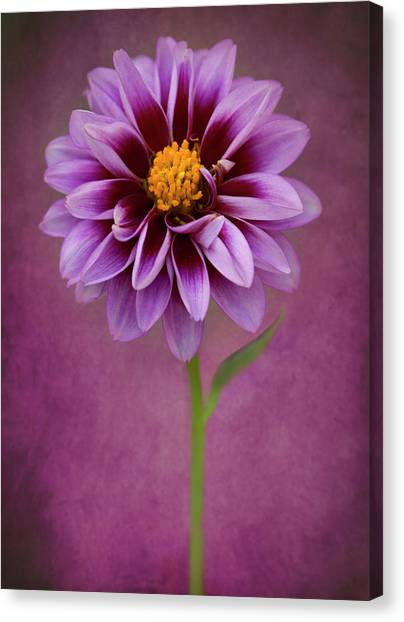 Canvas Print featuring the photograph Purple Dahlia by John Rodrigues