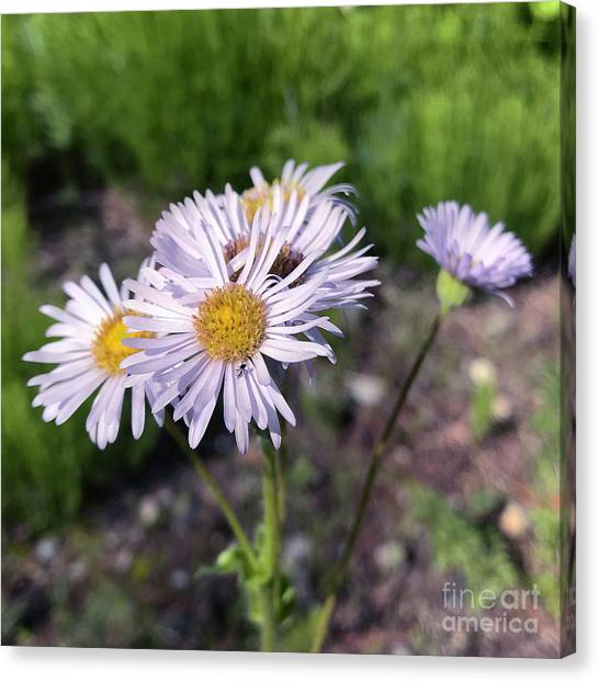 Purple Fleabane 5 Canvas Print