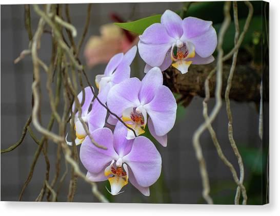 Purple Orchids Canvas Print