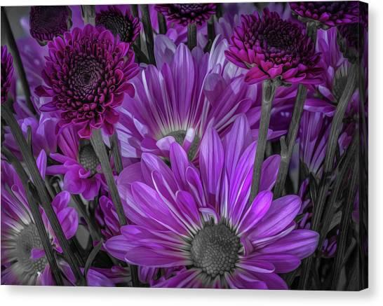 Purple Power Chrysanthem Selective Colorum  Canvas Print