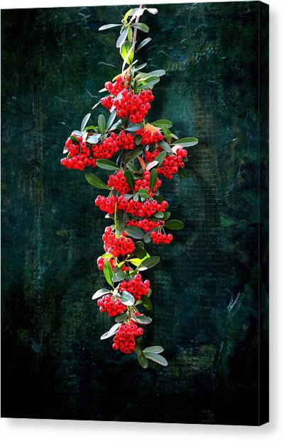Pyracantha Berries - Do Not Eat Canvas Print