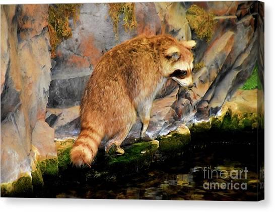 Raccoon 609 Canvas Print