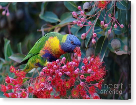 In Bloom Canvas Print - Rainbow Lorikeet Eating The Nectar From by Jun Zhang