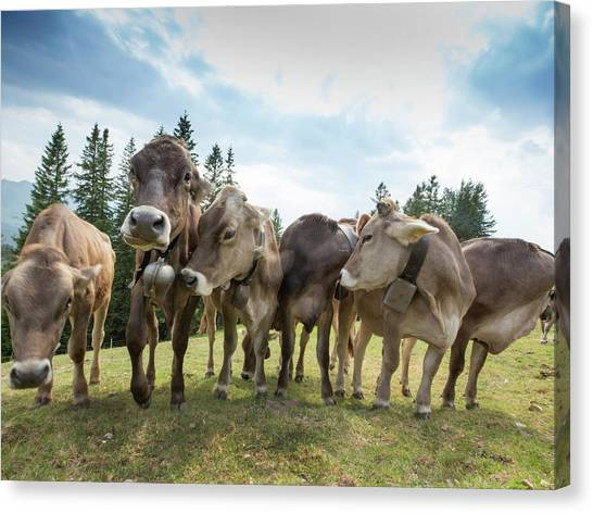 Rambunctious Swiss Cows With Cow Bells Canvas Print by Guy Midkiff