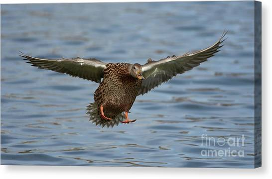 Ready For Landing Canvas Print