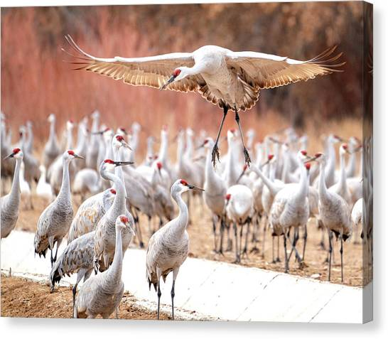 Ready Or Not, Here I Come -- Sandhill Cranes Canvas Print
