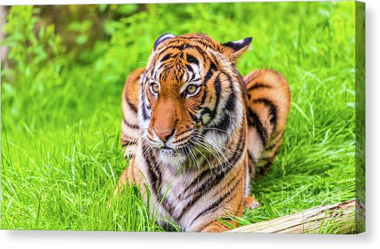 Ready To Pounce Canvas Print