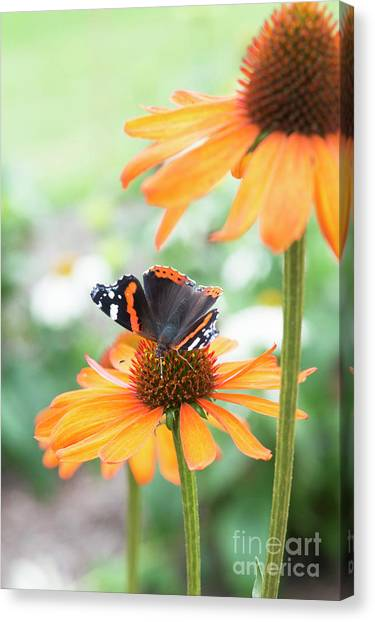 Pollinator Canvas Print - Red Admiral Butterfly On Echinacea Flower  by Tim Gainey