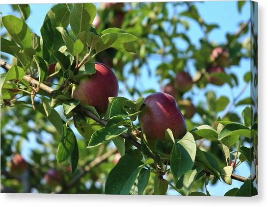 Canvas Print featuring the photograph Red Apples In The Apple Tree by Tatiana Travelways