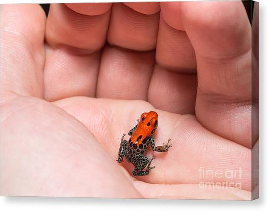 South American Canvas Print - Red-backed Poison Frog, Ranitomeya by Christian Vinces
