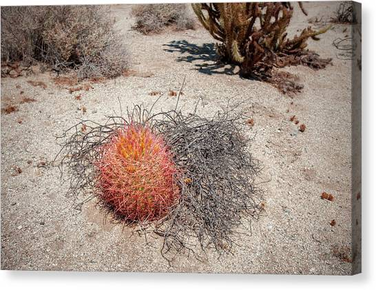 Red Barrel Cactus And Mesquite Canvas Print