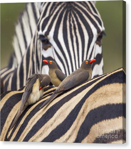 Southern Africa Canvas Print - Red-billed Buffalo-weaver In Kruger by Paco Como