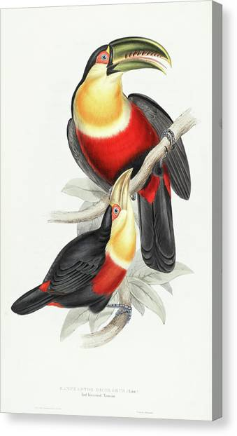 Toucans Canvas Print - Red-breasted Toucan by John Gould