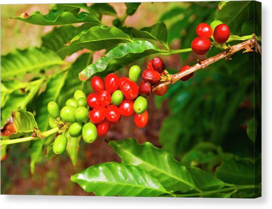 Red Coffee Cherries On The Vine Canvas Print by Russ Bishop