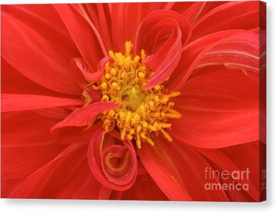 Dahlias Canvas Print - Red Dahlia Close Up by Imageman