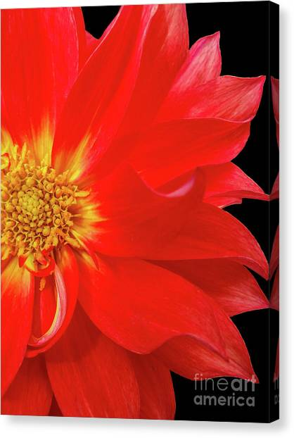 Red Dahlia On Black Background Canvas Print