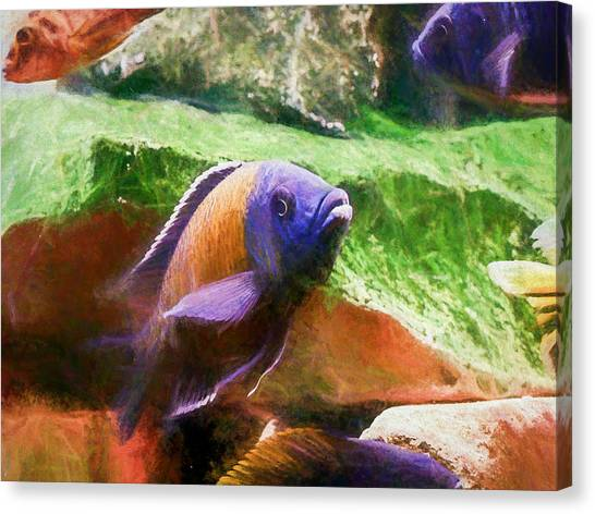 Red Fin Borleyi Cichlid Rising Canvas Print