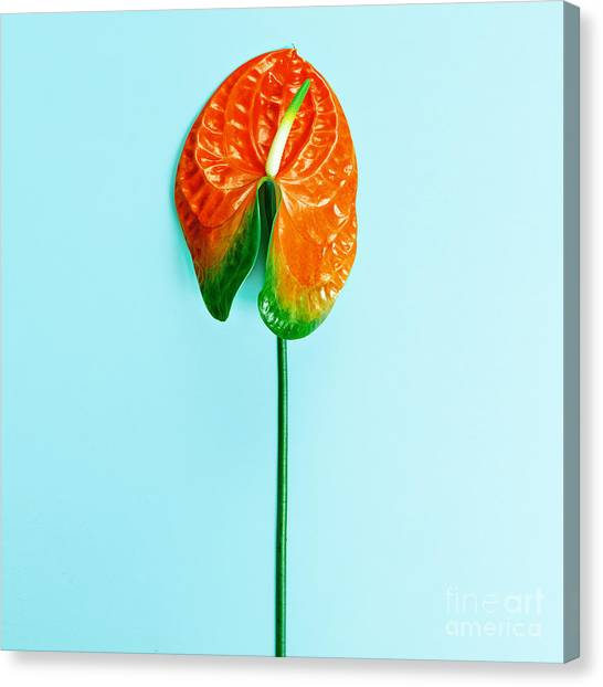 Tropical Plant Canvas Print - Red Flower Calla. Minimalism Style by Evgeniya Porechenskaya