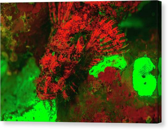 Red Fluorescing Scorpionfish Surrounded Canvas Print by Stuart Westmorland